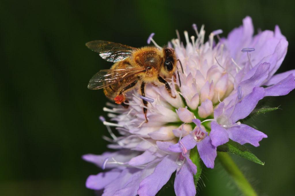 Honigbiene sammelt Nektar an lilafarbener Blüte