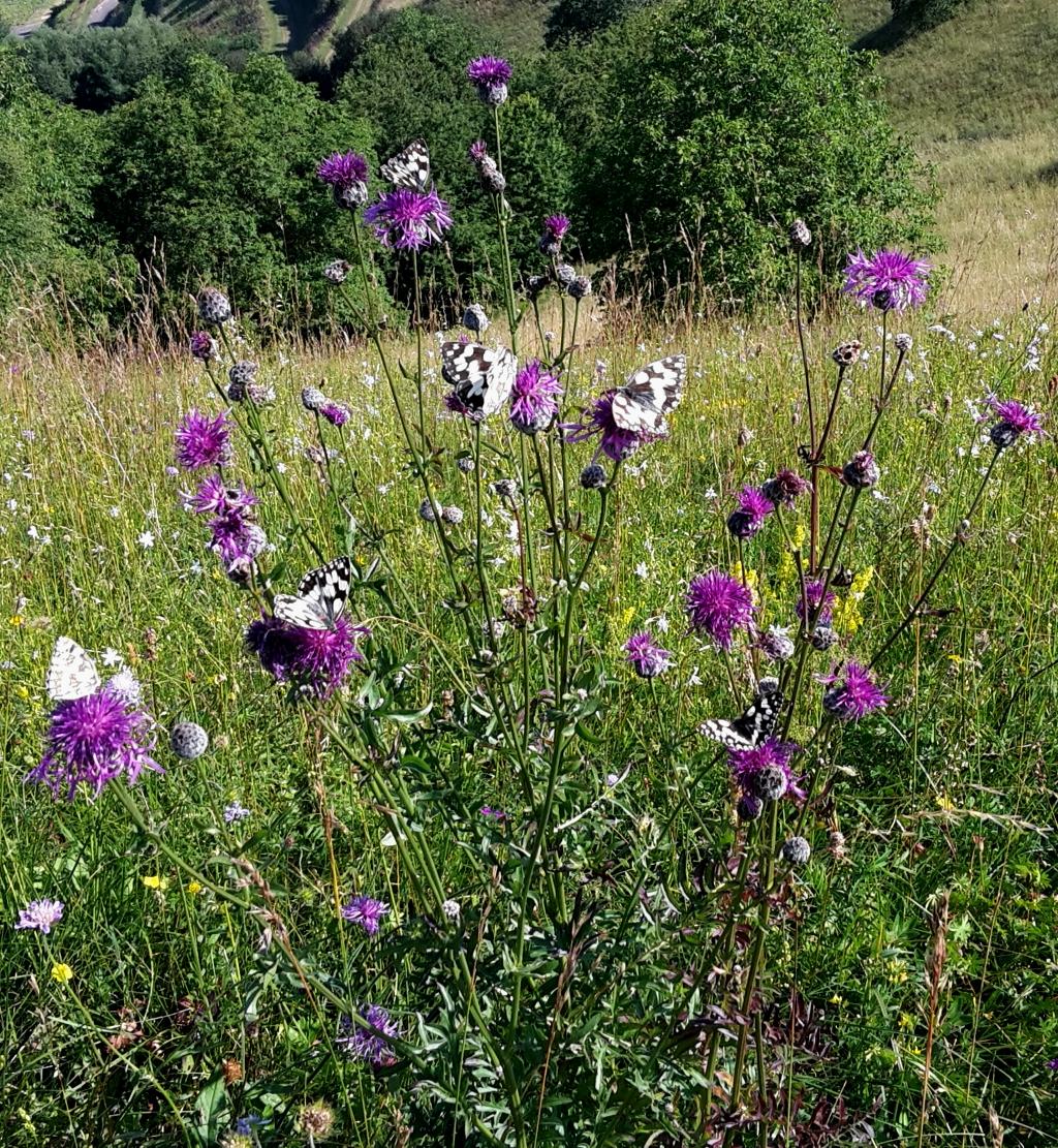 Schachbrettfalter auf Skabiosen-Flockenblume. Foto: Holger Loritz