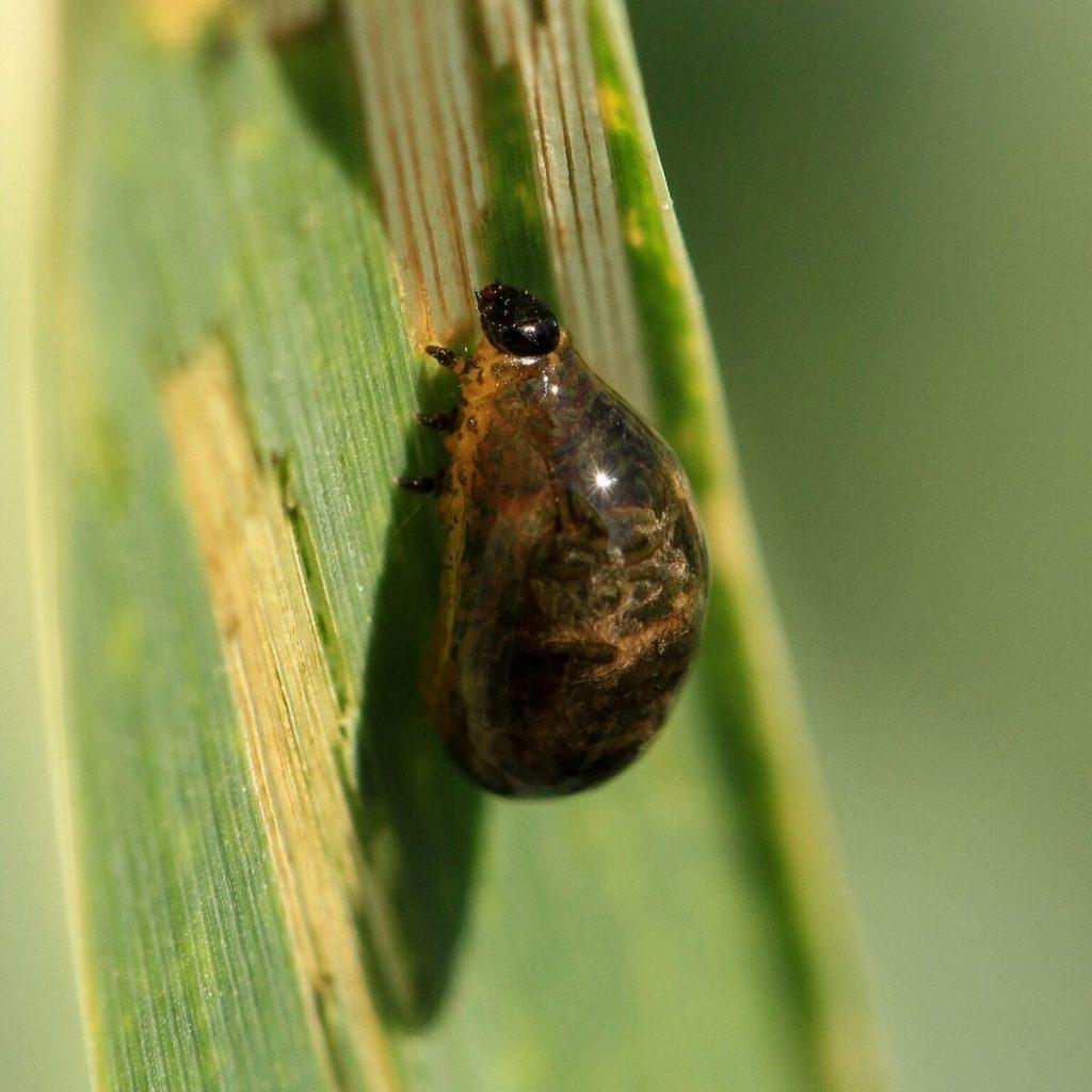Nahaufnahme einer Larve des Getreidehähnchens