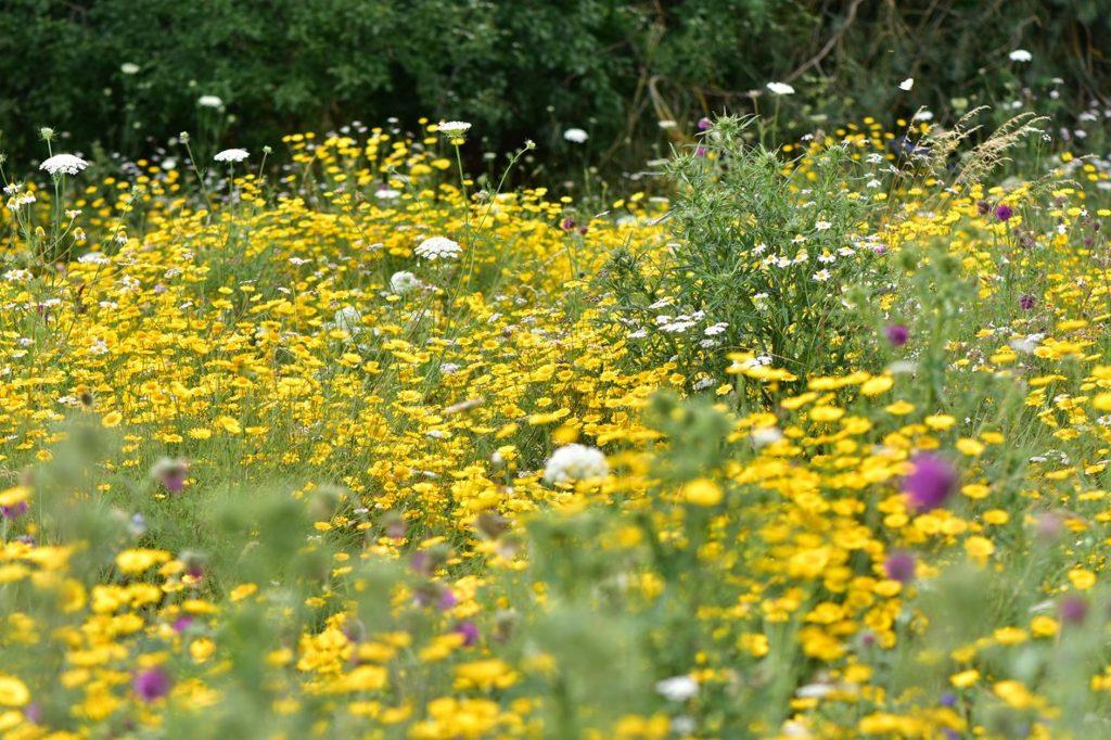Blühaspekt der Mischung Blühende Landschaft im 2. Jahr. Wilde Möhren, Wucherblumen, Flockenblumenn