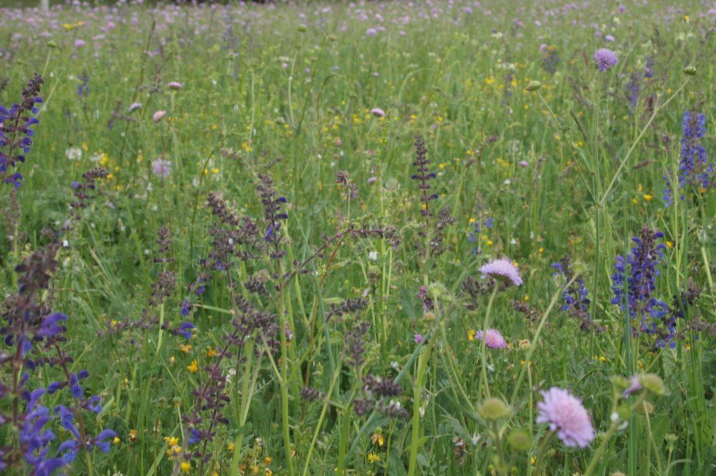Artenreiche Wiesen wie diese Salbei-Glatthafer-Wiese bieten ein vielfältiges Arteninventar. Auf diesem Bild prägen Wiesensalbei (Salvia pratensis) und Acker-Witwenblumen (Knautia arvensis) das Bild.
