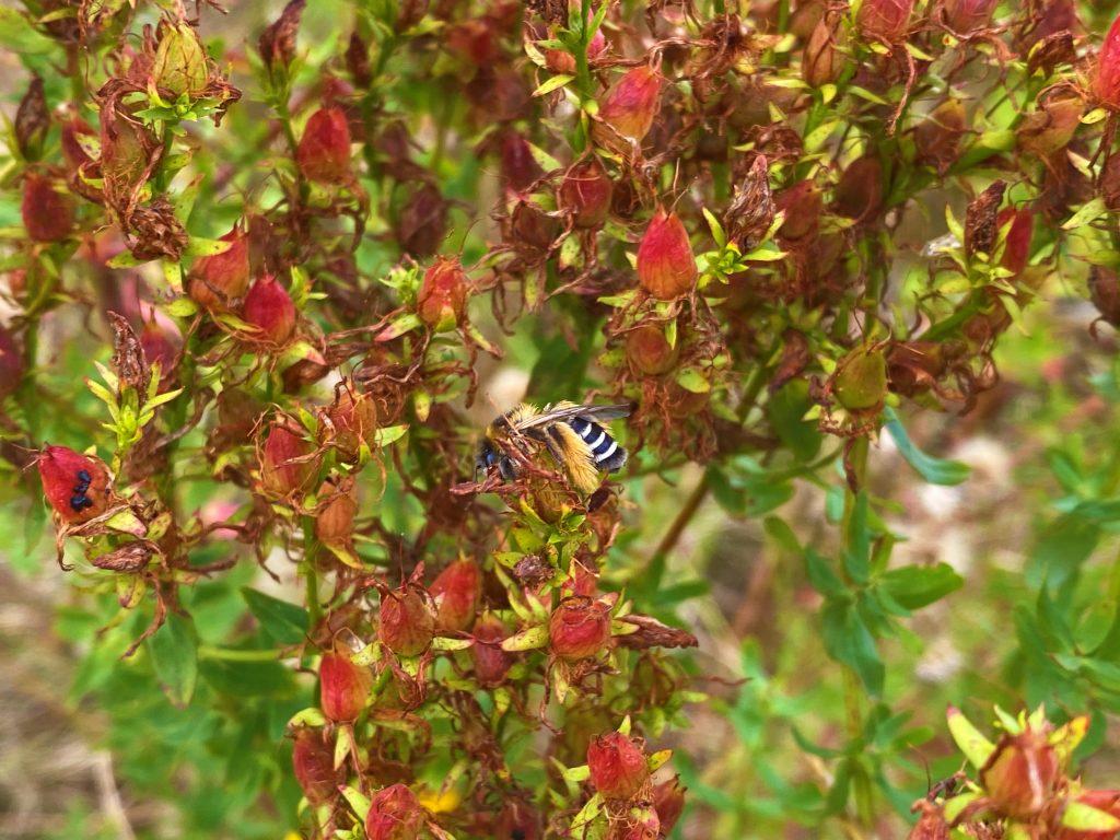 Hier ist die Hosenbiene Dasypoda Altercator an Johanniskraut Hypericum perforatum zu sehen.