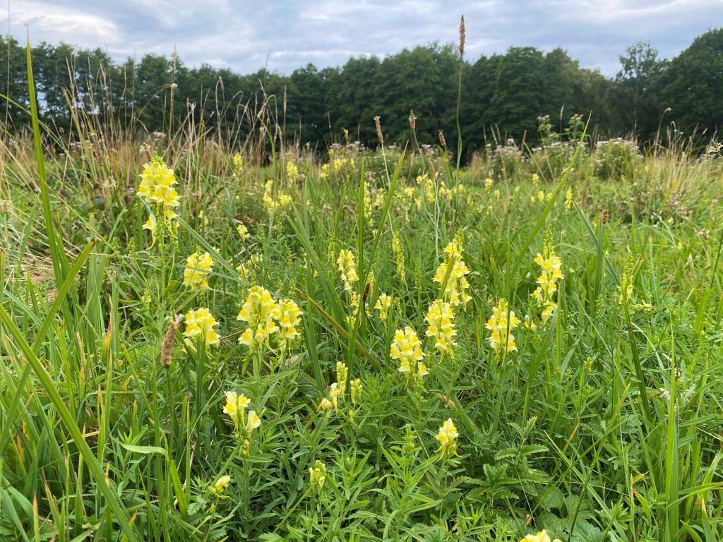 Artenreicher Gewässerrand mit echtem Leinkraut (Linaria vulgaris) und im Hintergrund blühendem Wasserdost (Eupatorium cannabinum)