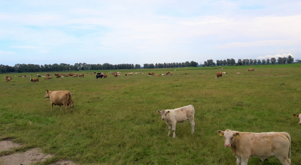 Eine Rinderherbe weided auf Gut Klockenhagen. Kühe schauen ins Bild