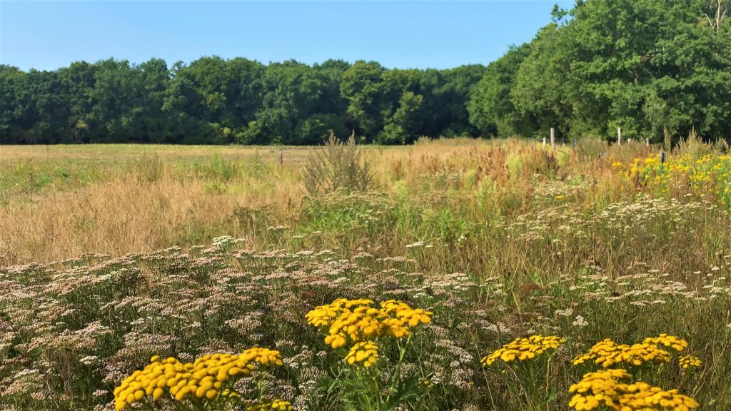 Blühende Kräuter im Altgrasstreifen